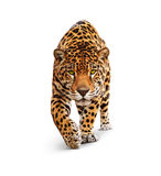 Jaguar - front view, isolated on white, shadow. Spotted wild cat - Panther, looking and walking to the camera. White background, shadow Royalty Free Stock Photo