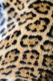 Jaguar Fur Stock Image