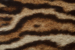 Jaguar fur closeup. Texture of jaguar fur closeup Stock Photo