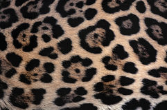 Jaguar fur texture background with beautiful spotted camouflage Stock Photo