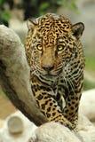 Jaguar gå Arkivbilder