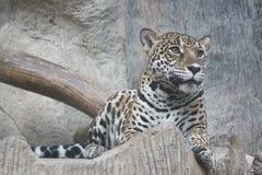 Jaguar gaat zitten Stock Foto