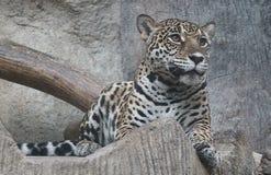 Jaguar gaat zitten Royalty-vrije Stock Fotografie