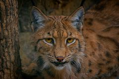 Jaguar, gato, bigcat, cor, retrato foto de stock royalty free