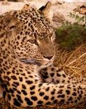 Jaguar. Gevaarlijk dier royalty-vrije stock afbeelding