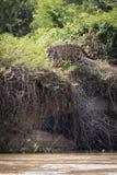 Jaguar grasuje przez krzaków na brzeg rzeki Zdjęcie Stock