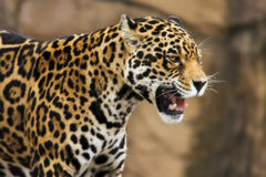Jaguar growling Royalty Free Stock Image