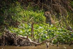 Jaguar half-hidden by undergrowth on river bank Royalty Free Stock Photos