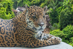 Jaguar has a rest Royalty Free Stock Images
