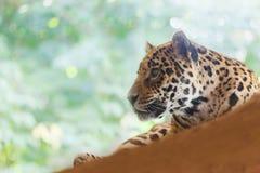 Jaguar. Has a rest , horizontal photo Stock Photo