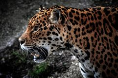Jaguar HDR strony profil obrazy stock