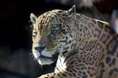 Jaguar. Hidden anger. Stock Photos