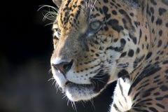 Jaguar. Hidden anger. Stock Photography