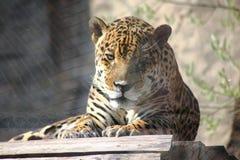 Jaguar. Hidden anger. Stock Image