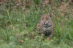 Jaguar in Hunting Mode. Jaguars are stealth hunters and this female jaguar is intent on finding a caiman for a morning meal royalty free stock photo