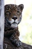 Jaguar I Fotografía de archivo libre de regalías