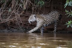 Jaguar i djungeln i Brasilien royaltyfri fotografi