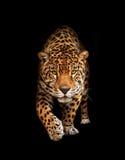 Jaguar i mörker - främre sikt som isoleras Fotografering för Bildbyråer
