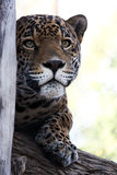 Jaguar I royalty free stock photography