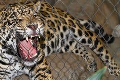 Jaguar ingabbiato che ringhia Immagini Stock