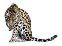 Jaguar isolado de lamber o pé Fotos de Stock Royalty Free