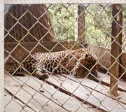 Jaguar in a jail royalty free stock image
