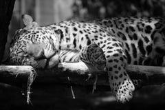Jaguar jest kotem, koci obraz stock