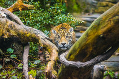 Jaguar in the Jungle Royalty Free Stock Photography