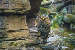 Jaguar in the Jungle Stock Photography