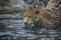 Jaguar in the Jungle Royalty Free Stock Image