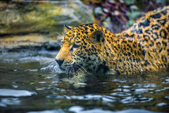 Jaguar in the Jungle Stock Photos