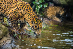Jaguar in the Jungle Stock Photo