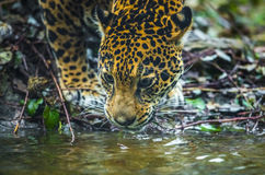 Jaguar in the Jungle Royalty Free Stock Image