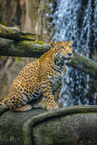Jaguar in the Jungle Royalty Free Stock Photo