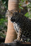 Jaguar. Is known as predatory animals that once frightening.n Stock Image