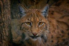 Jaguar, kot, bigcat, kolor, portret zdjęcie royalty free