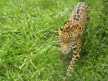 Jaguar kringstrykande Arkivbild
