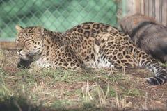 Jaguar laying down Royalty Free Stock Images