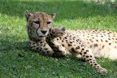 Jaguar. Lazy Jaguar in natural park in South America Stock Image