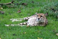 Jaguar. Lazy Jaguar in natural park in South America Royalty Free Stock Photography