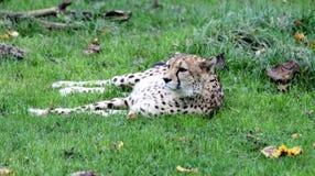 Jaguar. Lazy Jaguar in natural park in South America Royalty Free Stock Photos