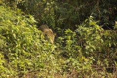 Jaguar Leaving Jungle Stock Photography