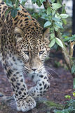 Jaguar Leopard Chetaa close up portrait. Isolated Royalty Free Stock Images