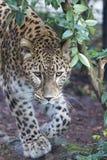 Jaguar Leopard Chetaa close up portrait Royalty Free Stock Images
