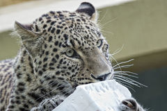Jaguar Leopard Chetaa close up portrait isolated. At the zoo Royalty Free Stock Photos