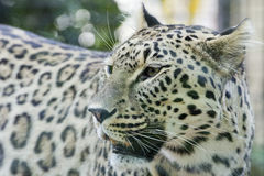 Jaguar Leopard Chetaa close up portrait. While looking left stock photos