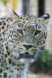 Jaguar Leopard Chetaa portrait Royalty Free Stock Image