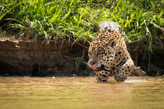 Jaguar licking lips walking through muddy shallows Royalty Free Stock Image