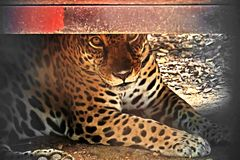 Jaguar lie down on the ground and stare. Closeup jaguar lie down on the ground and stare Stock Photo