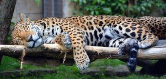 Jaguar lisiątko Zdjęcia Royalty Free